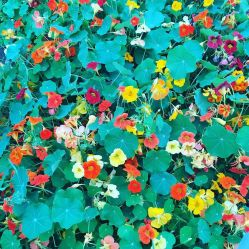 Mega nasturtiums in the poly tunnel at Helen's Bay Organic Gardens -mine our outside and still have a wee ways to go to get to this stage. But I may have 'borrowed' a few for beautifying