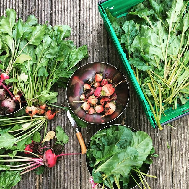 Sorting out my beetroot thinnings